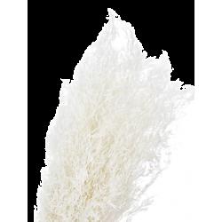 Bouquet munni séché blanc
